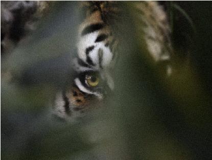 Tiger-HP